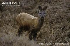 ARKive image GES034566 - Siberian musk deer (KarthikeyanMSP) Tags: adult grassland habitat mammals physicalappearance siberianmuskdeer animalsanimals moschusmoschiferus kashmirindia arkive wwwarkiveorg ges034566 danijeske