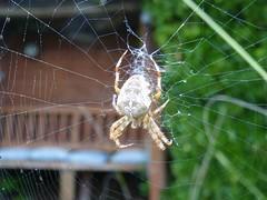 Spider Garden 12 (Elsie esq.) Tags: spider arachnid 8legs