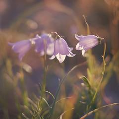 Conciliabule au pays des campanules (6line8) Tags: flower fleur 35mm bokeh campanula bellflower campanule clochette 500x500 bsquare 35mmf18