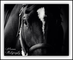 Magical Empire (EASY GOER) Tags: portrait horses horse ny sports racetrack race canon eyes track belmont competition racing 7d athletes sporting 56 thoroughbred equine thoroughbreds kimmel 400mm