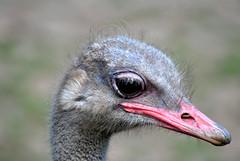 Ostridge at Blackpool Zoo (Glenn Pye) Tags: bird nature birds nikon wildlife ostridge blackpoolzoo d3000 nikond3000