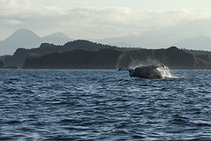 Scenic Photo of Breaching Humpback Whale (GriffingPhotography) Tags: ocean sea summer sky mountain tree water alaska island waves wildlife scenic ak boating whale nautical humpback kodiak