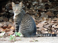 A Willamette Cat from Across the Street -:- 5180 (buddhadog) Tags: willamettecat bigmomma amongthedeadleaves sittingwithastare pregamewin ccc 100vu 400 7wins sweeper challengeyouwinner gamewinner agcgwinner pregamesweep mm108 feliscatus