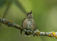 Ruby-throated Hummingbird (Laura Erickson) Tags: home minnesota birds species duluth rubythroatedhummingbird archilochuscolubris trochilidae apodiformes