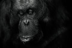 Emily (David Phasey) Tags: zoo orangutan sanctuary sigma7020028