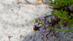 Buzy (Infomastern) Tags: macro beach strand insect insekt bste canonef100mm128lisusmmacro