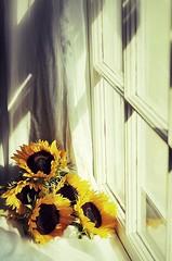 sunshine (marie palcic) Tags: stilllife flower window nature floral yellow vintage petals capecod massachusetts gray sunflower bloom snapseed
