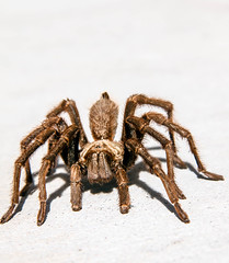 Brown Tarantula (http://fineartamerica.com/profiles/robert-bales.ht) Tags: arizona hairy pet brown black southwest robert animal animals bug insect spectacular dangerous texas desert legs spiders wildlife awesome scenic surreal peaceful creepy scorpion whitebackground exotic tarantula sensational bales inspirational spiritual predator sublime biology magical crawling eight magnificent inspiring haybales venomous invertebrate zoology arthropod theraphosidae abdomen arachnia canonshooter aphonopelmahentzi robertbales