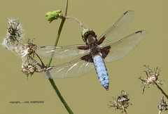 Broad-bodied Chaser. Libellula depressa (gailhampshire) Tags: chaser libellula depressa broadbodied specinsect taxonomy:binomial=libelluladepressa