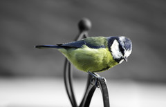 Nice bluetit (Wilf41/Maggie) Tags: colour nature birds tit wildlife bluetit selective selectivecolour