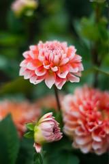 ダリア (あおい.) Tags: dahlia autumn flower japan 日本 花 秋 自然 natuer ダリア