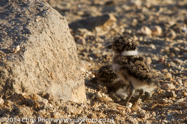 Lapwing chicks, Madikwe Game Reserve