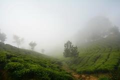 India - Kerala - Munnar - Tea Plantation - 69 (asienman) Tags: india mountains kerala hills teafactory teaplantation munnar teapicker asienmanphotography teaplantagens