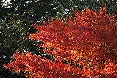 Best Without Chlorophyll (Deepgreen2009) Tags: autumn leaves red bright beauty acer chlorophyll