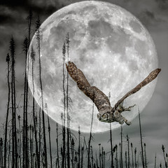Supermoon (Jos Pockett) Tags: fullmoon moon owl greathornedowl nikon canada ps6 composite slidersunday hss