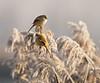 The bearded reedling (Panurus biarmicus) (Aleoko) Tags: 15challengeswinner
