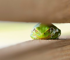 Frosch frontal (michaelavondruska) Tags: frosch frog facetoface frontal tier animal grn green nikonphotography