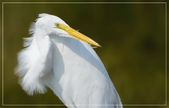 "Great Egret....looking back at last loop around Forsythe 2016 (Christine Fusco ~ ""Jersey Strong"") Tags: ardeaalba greategret plumage white nature breeze heron egret feathers 2016 portrait bokeh wader wadingbird bird birds nikon tamron christinefusco"