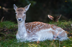 Female deer @ Waterleidingduinen (PaulHoo) Tags: nikon d300s nature amsterdamse waterleidingduinen sun deer wildlife illuminated peaceful animal holland netherlands 2016