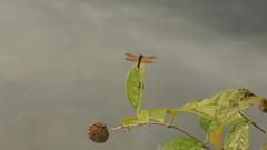 Eastern Amberwing (Perithemis tenera) Male (Rezamink) Tags: perithemistenera easternamberwing dragonflies odonata usa