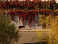 Otoo Tardor Autumn (5) (calafellvalo) Tags: calafellautumntardorotoomandoscalafellvalo otoo autumn fall automne herbst ocher reddle ocre ocker viedos vineyard weinberg vignoble rouge red calafellvalo madroo tardor