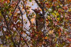 Flicker hiding in the berries (brianeagar - busy & mostly offline) Tags: flicker northernflicker bird utahbird utahwildlife utahnature feeding berries fall autumn bush light shadow