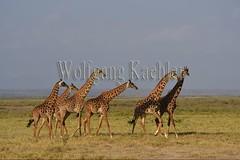 10076037 (wolfgangkaehler) Tags: 2016africa african eastafrica eastafrican kenya kenyan amboseli amboselikenya amboselinatlparkkenya amboselinationalpark wildlife mammal giraffe giraffes giraffacamelopardalistippelskirchi herd tower group