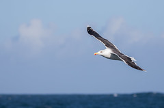 Great Black Backed Gull #6 (scilly puffin) Tags: larus gull islesofscilly