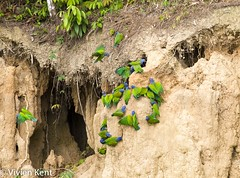 Blue-headed parrots at clay lick (2) (tau247) Tags: amazonianrainforest blueheadedparrot manunationalpark peru pionusmenstruus southamerica behavior behaviour bird bright claylick colorful colourful green nature wildlife