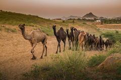 L1003384.jpg (Bharat Valia) Tags: pushkarfair bharatvalia desert rajasthanportraits bharatvaliagmailcom sheperd pushkarimages pushkarmela festivalsofindia camel pushkarcamelfair pushkar