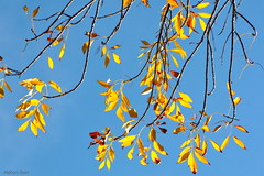 [Leaves in the Wind] (miltonsun) Tags: autumnleaves bayarea fall autumn sky nature