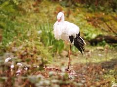 2016-10-16_16-46-43 (torstenbehrens) Tags: bird bokeh olympus ep5 digital camera storch berwintert deutschland m42 objektiv mc revuenon 200mm f35