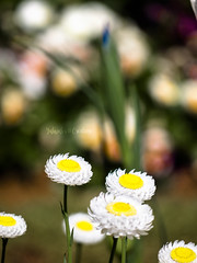 Sunset Cyclones (Yahweh's Creation) Tags: everlasting flower flora nature natur blur bokeh white pink spring garden daisy depthoffield green grass bed