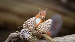Red Squirrel pose (raytaylor77) Tags: brownseaisland cones fir redsquirel wildlife branch cute nature possing wild england unitedkingdom gb