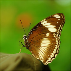 oleander vlinder..................euploea core (atsjebosma) Tags: vlindertuin havelte butterflygarden vlinder macro atsjebosma thenetherlands ngc
