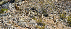 047-VOF160131_46464 (LDELD) Tags: nevada desert rugged dry harsh wild valleyoffire bighornsheep animal wildlife rocky