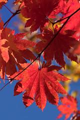 Symbol of the Season (jasohill) Tags: october tohoku vibrant city 2016 iwate red leaves adventure travel symbol photography season sky contrast fall hachimantai japan nature eos 80d