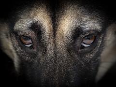 _B220021 (lluisg8207) Tags: uma perro lobo