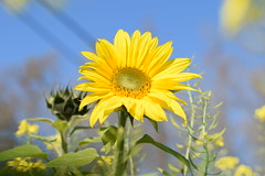 Choose to be a sunflower... (Maria Godfrida (absent for a while)) Tags: nature flowers sunflowers yellow yellowflowers bluesky