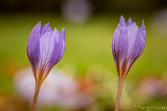 Autumn Flowers (Tony Mullen Photography) Tags: flower gardenflowers purpleflowers kilmacurragh nationalbotanicgardens nationalbotanicgardenskilmacurragh tonymullenphotography