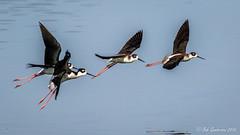 Black-necked Stilts (Bob Gunderson) Tags: birds blackneckedstilt california himantopusmexicanus northerncalifornia peninsula radioroad sanmateocounty shorebirds