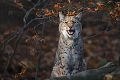laughing Lynx (Mel.Rick) Tags: sugetiere zooduisburg tiere natur raubtiere raubkatzen luchs groskatzen