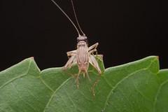 Tettigonidae. Trigonidium sp. (David Ball.) Tags: tettigoniidae trigonidium katydid canon270exii singapore