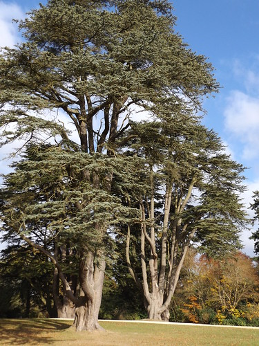Cedar Trees, Blenheim Palace, Woodstock, Oxfordshire, 5 November 2016