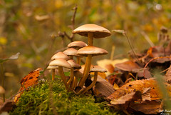 Champignons des bois (Tophe54) Tags: champignon forest foret bois nature paysage landscape automne autumn sony bokeh ngc flickrunitedaward flickr estrellas