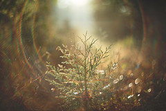 Back to the start (Tammy Schild) Tags: october field plant tree autumn fall nature morning light flare haze bokeh blur helios 402