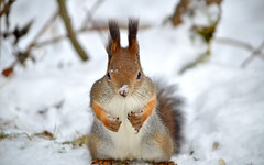 - I'm hungry and my nose is froze!!! (L.Lahtinen) Tags: squirrel redsquirrel snow november 55300mm nikond3200 nikkor nature orava kurre cold frost autumn finland suomi wildlife wild lunta luonto lumi cute adorable suloinen sp flickr fluffy furry funnysquirrel dof larissadatsha weather