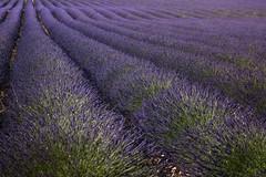 summer memories (zenofar) Tags: nikon d810 france frankreich provence summer lavendel lavender feld field stripes streifen symmetrie