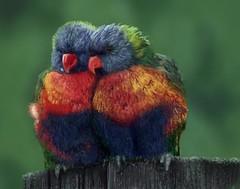 Lorikeets (Molly Nowell) Tags: illustration art lorikeets birds digital