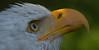 Waiting for sunshine (pe_ha45) Tags: baldeagle weiskopfseeadler haliaeetusleucocephalus